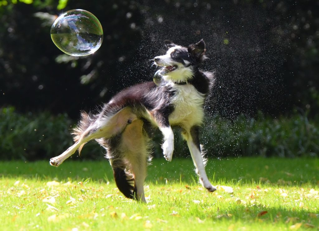 border collie bubble